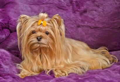 Golden Yorkshire Terrier against purple fur