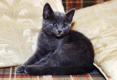 silver_kitten_main
