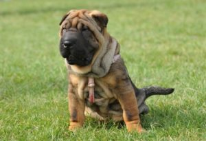 http://www.dreamstime.com/royalty-free-stock-photography-shar-pei-dog-puppy-portrait-image20912077