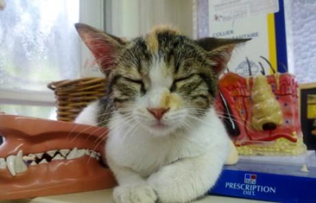 סוכרת חתולים למתחילים