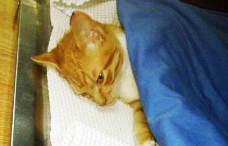 FIV – איידס חתולים