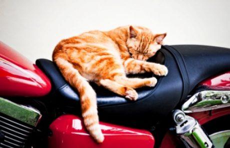 סירוס חתול