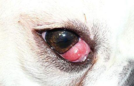 תסמונת עין דובדבן (Cherry Eye)