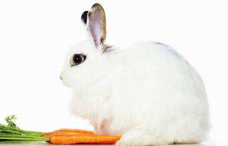 ארנבות וגידול ארנבות