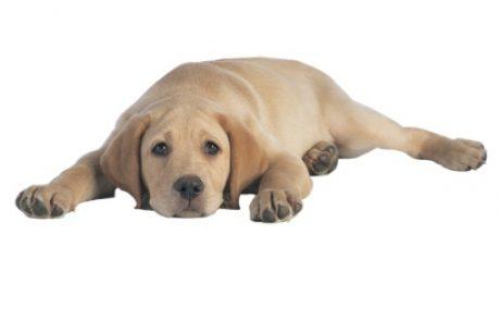 פיומטרה – עוד סיבה טובה לעקר את הכלבה